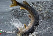 ribari.net! Тънкости при риболов на Щука
