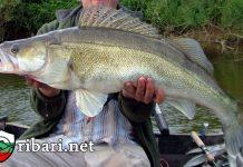 Бяла риба на жива стръв