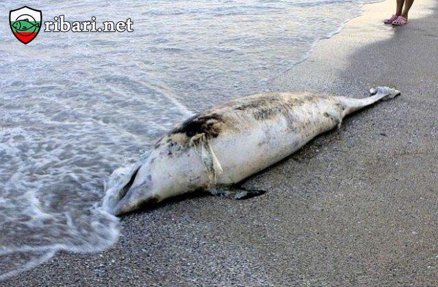 Бракониери в Черно море избиват делфините