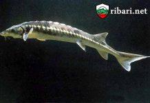 Моруната достига до 6 метра и над 1600 килограма