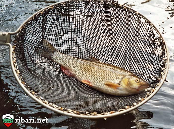 Мухарски риболов - речен кефал на муха