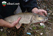 Как се лови бяла мряна? ribari.net