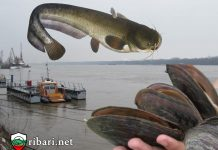 Китайска мида за стръв за сом по Дунав