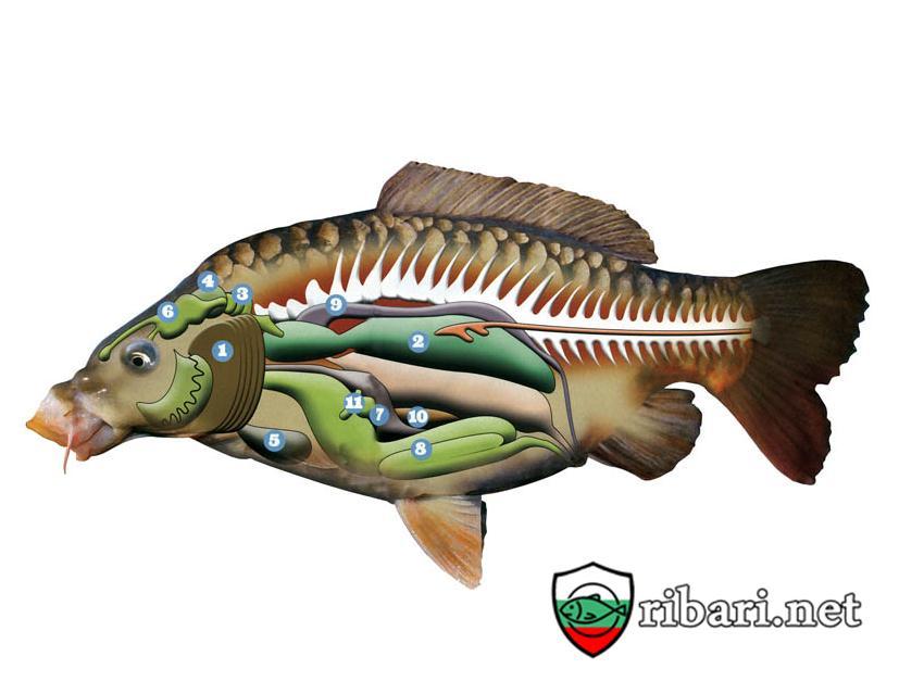 Anantomiq na ribata Анатомия на Шарана рибари нт