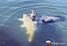 Дресиран корморан лови шарани