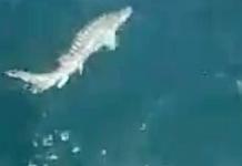 """Сдружение """"Черноморски изгрев"""" Спасяват Есетрови риби в Черно море.+ВИДЕО"""