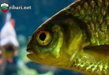 Съобразителността на рибата
