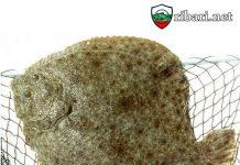 Увеличават с до 75 тона квотата ни за улов на калкан