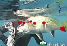 Риболов с харпун или време е за закони