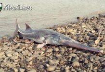 Най-голямата сладководна риба изчезна завинаги от лицето на планетата