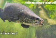 Откриха нов вид гигантска риба