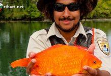 2 килограма златна рибка уловена с въдица!