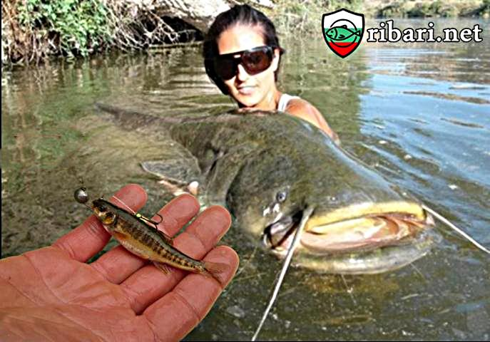 Риболов на сом с жива рибка
