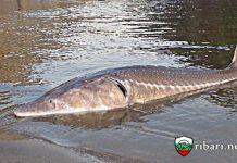 Моруната е най-голямата риба, срещана в Дунав