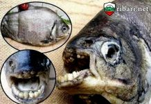 Риба Пако известна с това че може да ви отхапе топките.