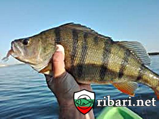 Тънкости в риболова на костур
