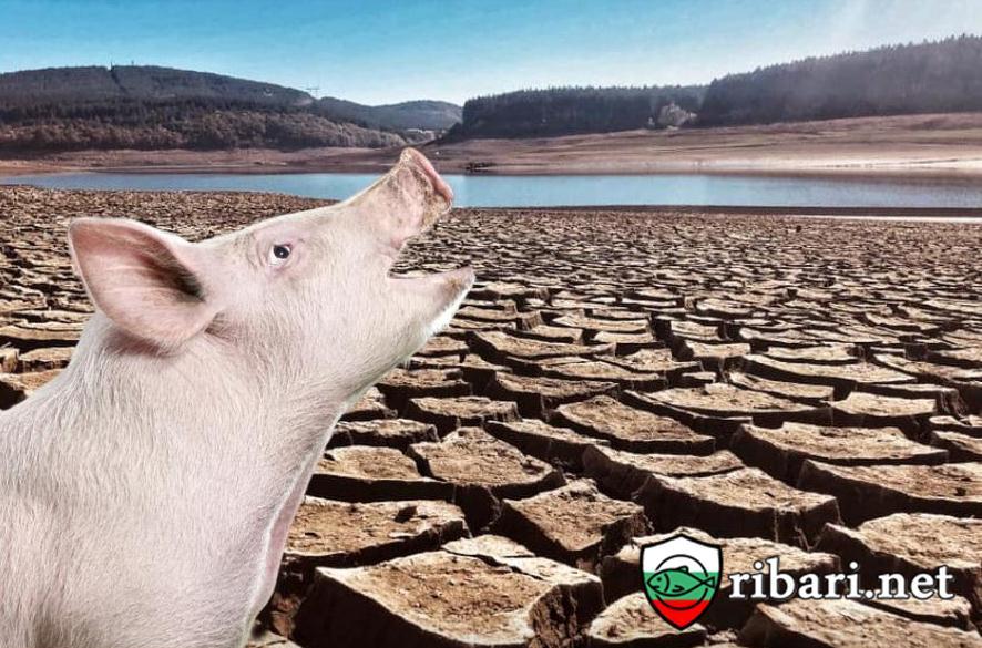 След африканската чума по свинете наред е африканска чума по водата