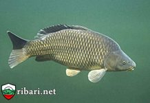 Риби със стопанско значение