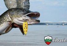 Риболов на щука по река Дунав с изкуствени примамки
