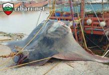 Рибари уловиха чудовище, тежащо 900 кг.