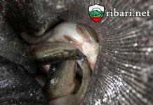 """ribari.net ХВАНАХА НАРУШИТЕЛИ, ИЗВЪРШВАЩИ СТОПАНСКИ РИБОЛОВ НА ЯЗОВИР """"ОГОСТА"""""""