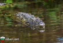 Мъж в Руанда избяга от карантината, за да иде за риба, изяде го крокодил