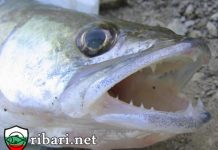 Трябва ли промяна в наредбата за забрана на риболов на Бяла Риба и Щука?