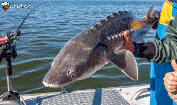 Нови 5 години забрана за улов на есетри